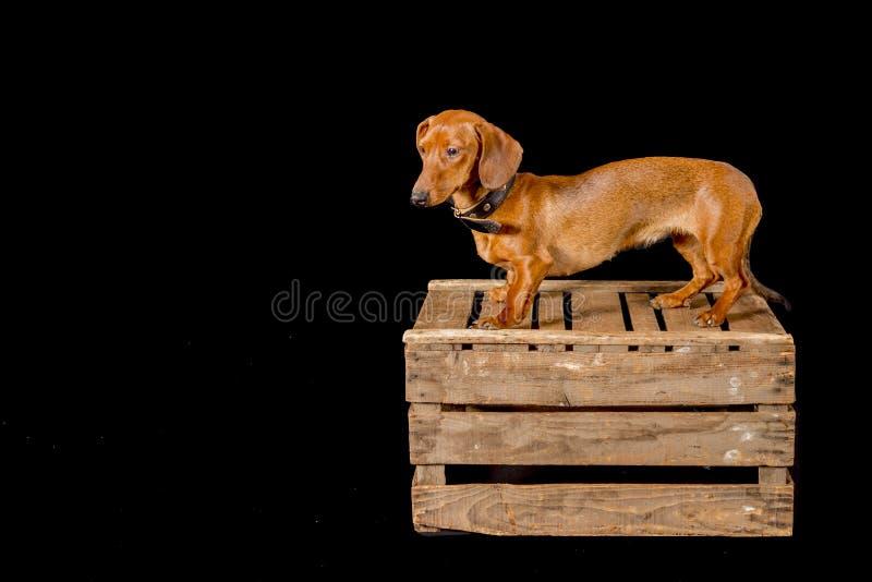 Beau chien de saucisse sur une boîte en bois photographie stock