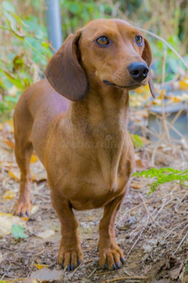 Beau chien de saucisse très attentif au milieu de la forêt photos libres de droits