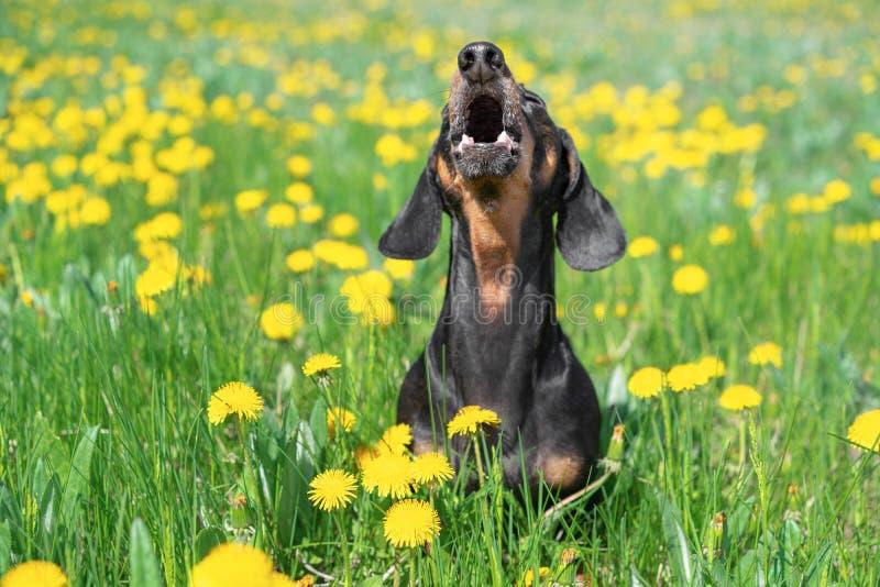 Beau chien de teckel, noir et bronzage, ayant l'amusement, écorçant fort, soulevant sa tête, sur un pré des pissenlits et de l'he photo libre de droits