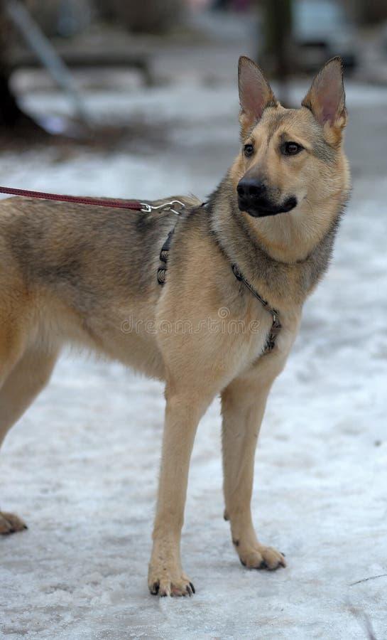 Beau chien gris images libres de droits