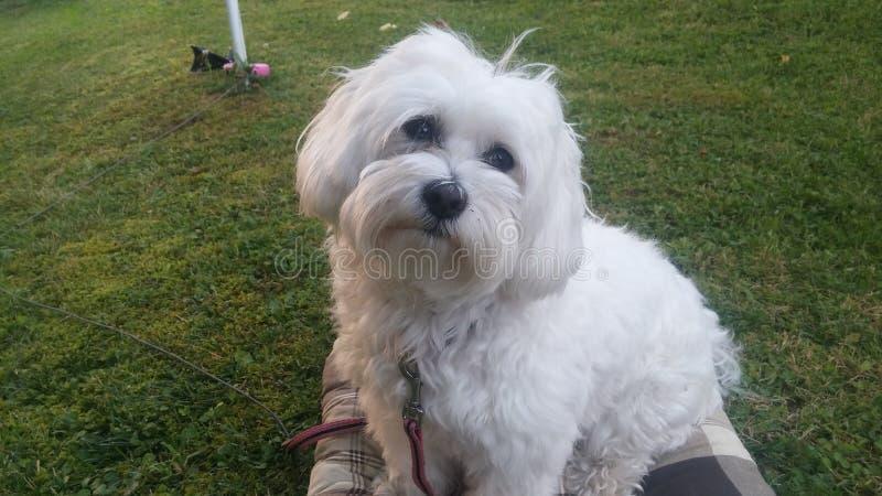 Beau chien maltais gentil Luna mon grand amour photographie stock libre de droits