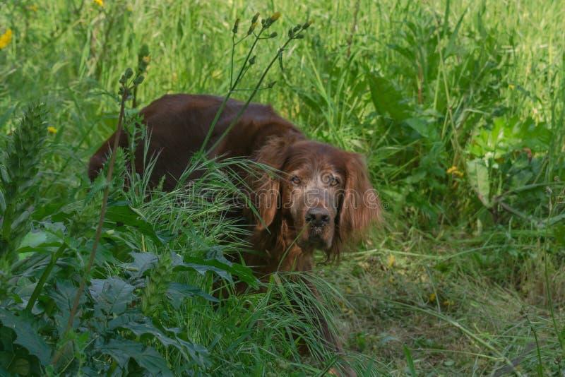 Beau chien rouge de poseur irlandais photos libres de droits