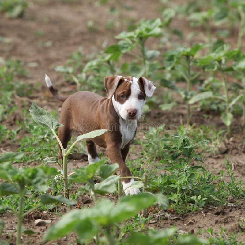 Beau chiot d'Américain Pit Bull Terrier photo libre de droits