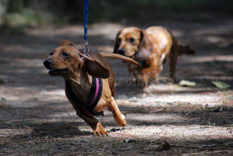 Beau chiot de petit de teckel chien mignon de saucisse images libres de droits