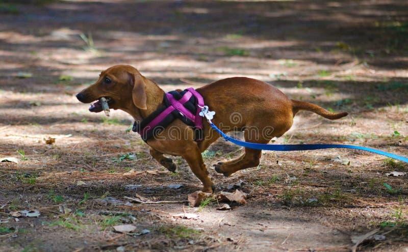Beau chiot de petit de teckel chien mignon de saucisse image stock