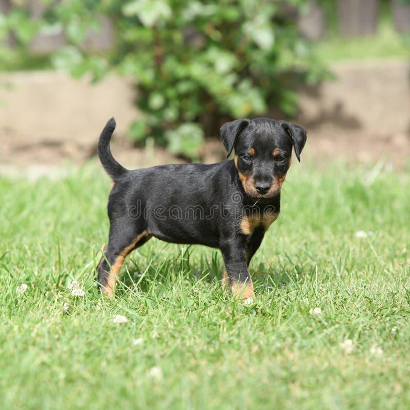 Beau chiot de Terrier de chasse allemand photo stock