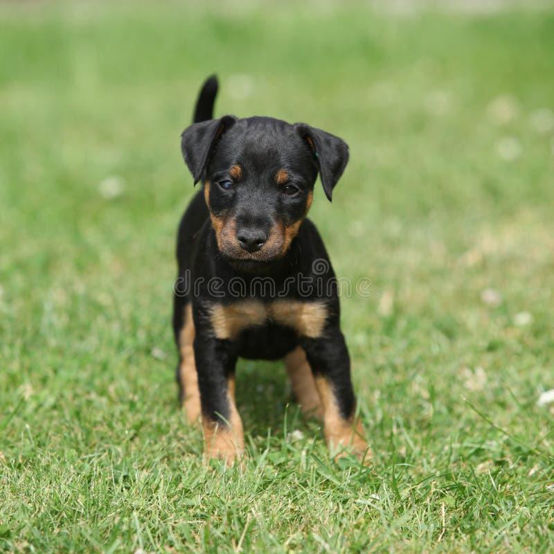 Beau chiot de Terrier de chasse allemand images libres de droits