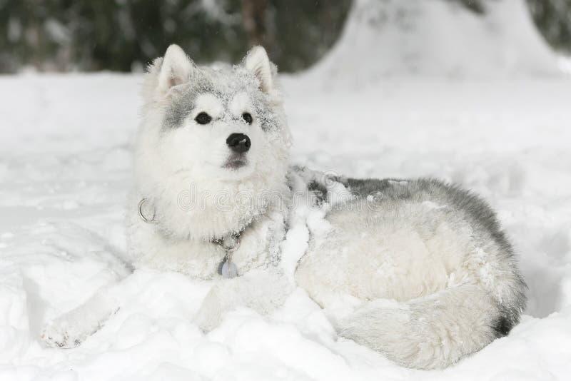 Beau chiot enroué pelucheux s'étendant dans la neige Couleur blanche photos libres de droits