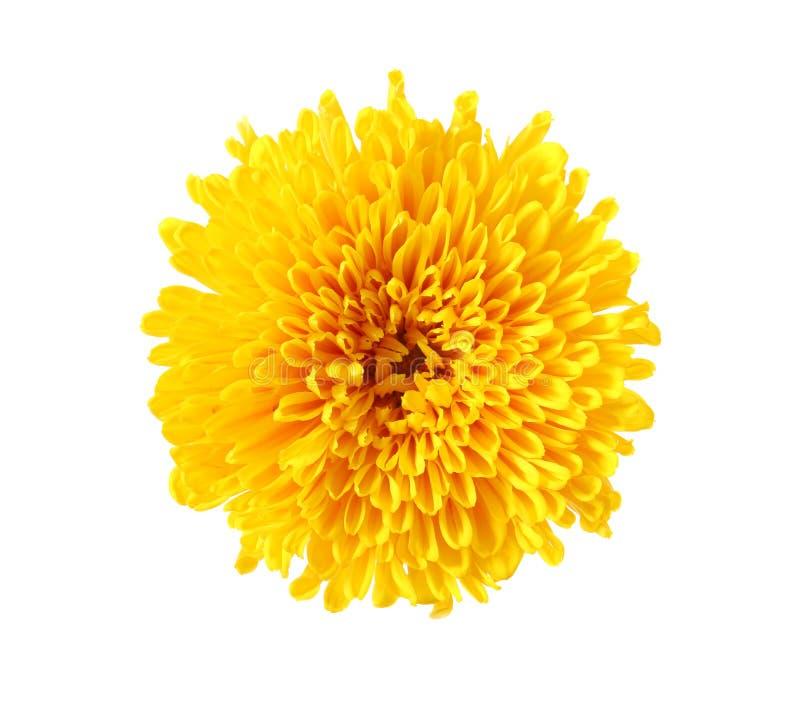 Beau chrysanthème jaune d'isolement photo stock
