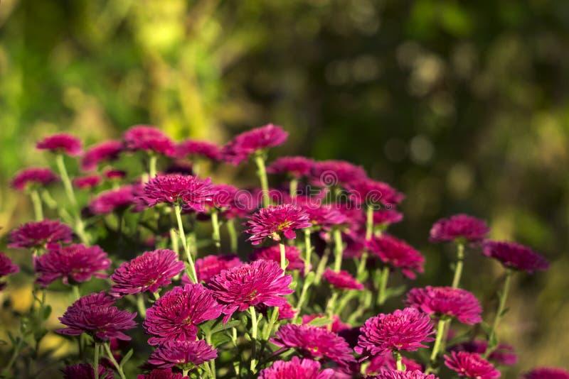 Beau chrysanthème rose s'élevant dans le jardin, fond photo stock