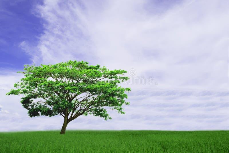 Beau ciel nuageux et bleu blanc au-dessus de l'arbre de pluie d'isolement sur le fond vert de champ photographie stock