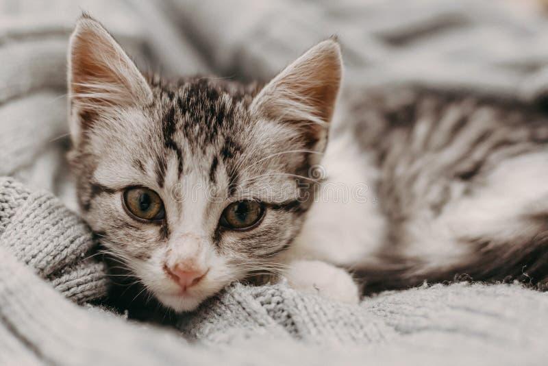 Beau closeup mignon chat, reposant de façon confortable et chaleureuse Humeur hivernale représentée par un doux félin domestique  images libres de droits