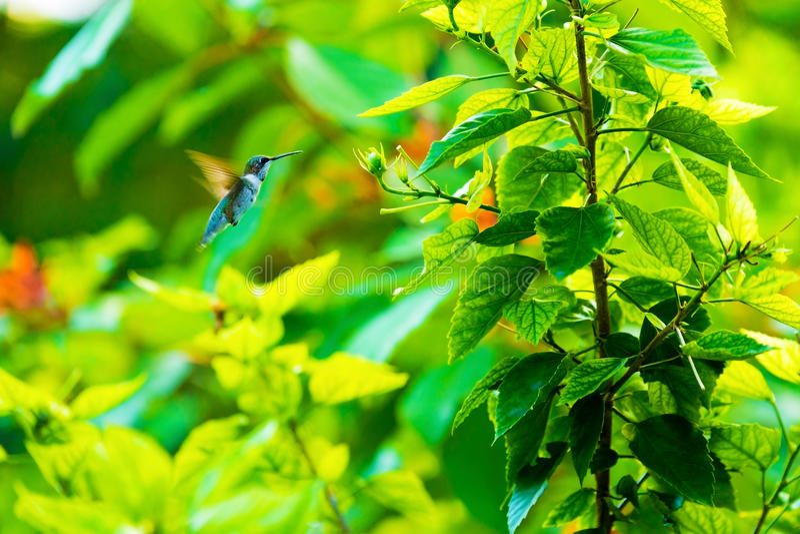 Beau colibri et une fleur photo stock