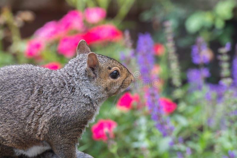 Beau, coloré plan rapproché d'un écureuil photographie stock libre de droits