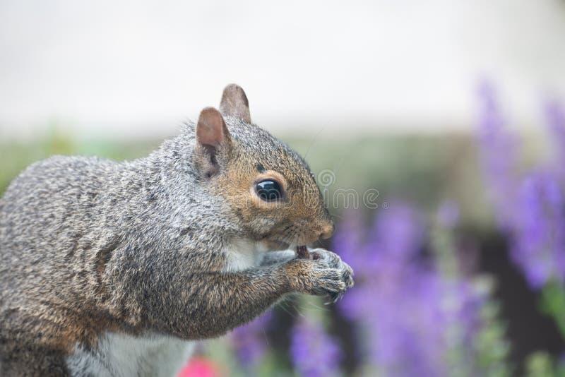 Beau, coloré plan rapproché d'un écureuil dans le jardin image libre de droits