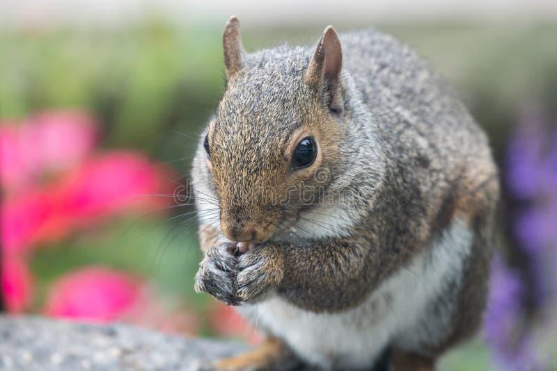 Beau, coloré plan rapproché d'un écureuil dans le jardin photographie stock libre de droits