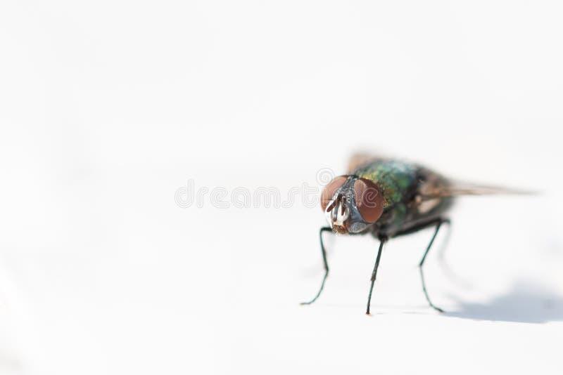 Beau, coloré plan rapproché d'une mouche de maison image stock