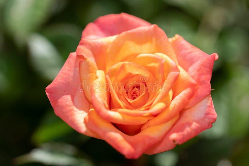 Beau, coloré plan rapproché d'une rose dans le jardin photo libre de droits