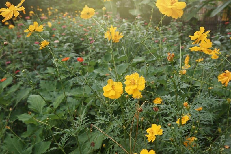 beau cosmos jaune se développant dans le jardin photo libre de droits