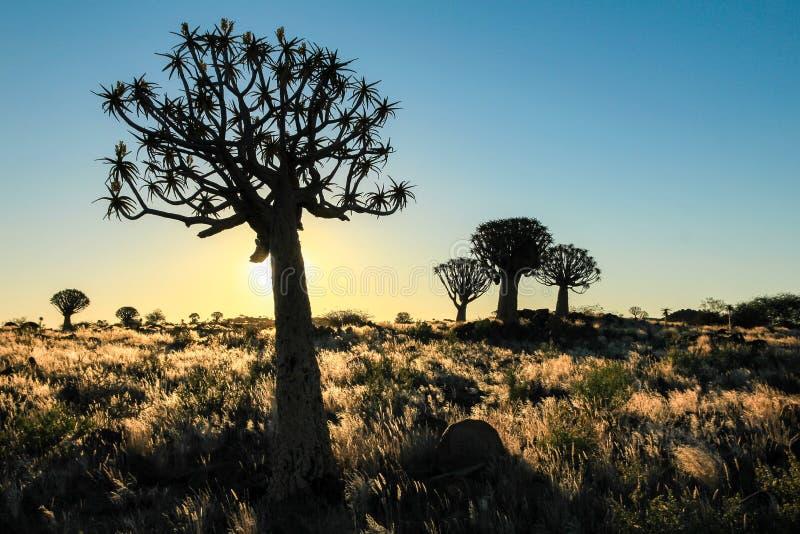 Beau coucher du soleil africain avec les arbres silhouettés de tremblement et l'herbe lumineuse photo libre de droits