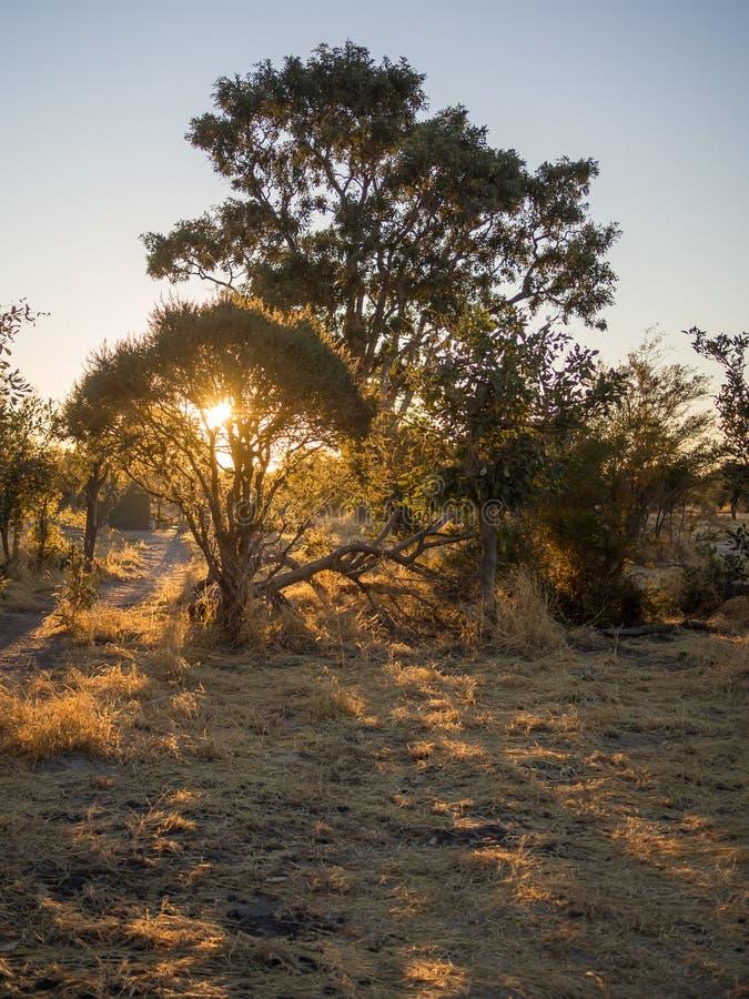 Beau coucher du soleil d'or derrière des silhouettes des arbres près du parc national de Moremi, Botswana, Afrique méridionale image stock