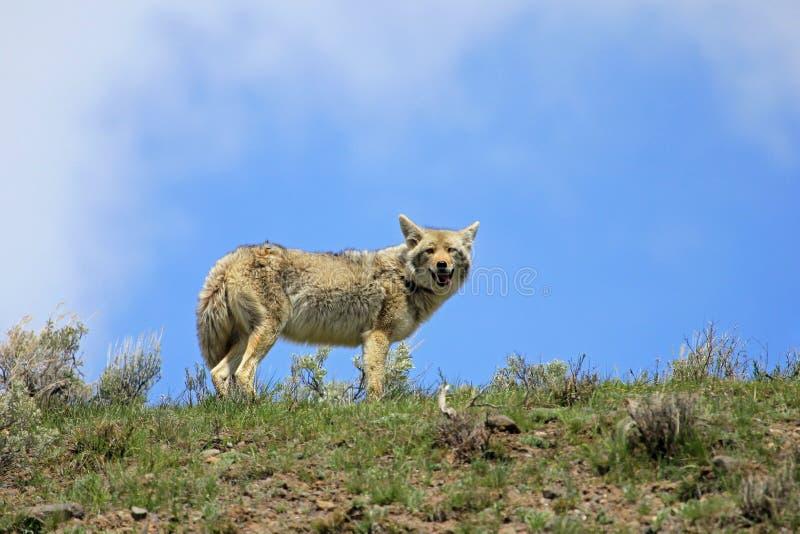 Beau coyote, nom latin Canis Latrans, en parc national de Yellowstone, les Etats-Unis photographie stock libre de droits