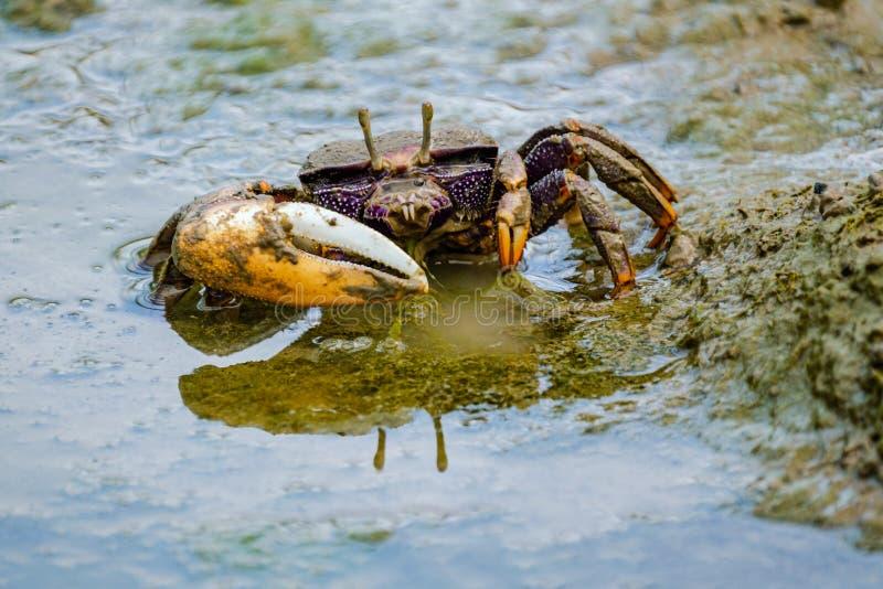 Beau crabe de violoneur color? image libre de droits