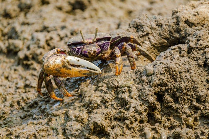 Beau crabe de violoneur color? photos stock
