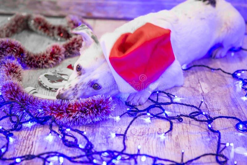 Beau crabot blanc Photo de Noël an neuf heureux de Noël joyeux image stock