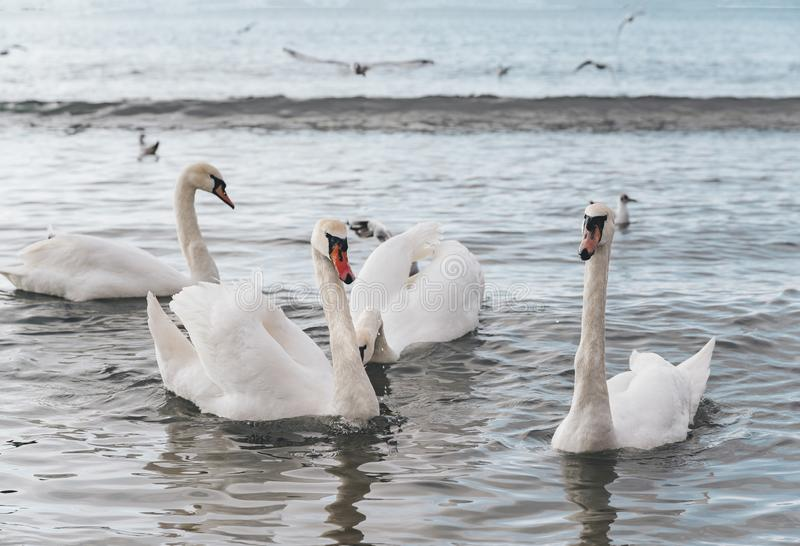 Beau cygne blanc avec la famille, mouettes image libre de droits