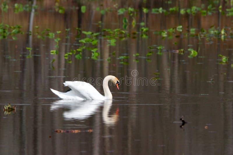 Beau cygne dans le lac images stock