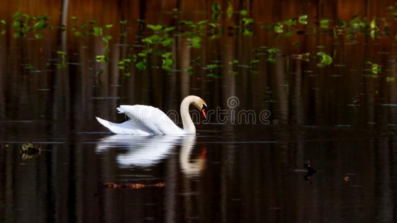 Beau cygne dans le lac photo stock