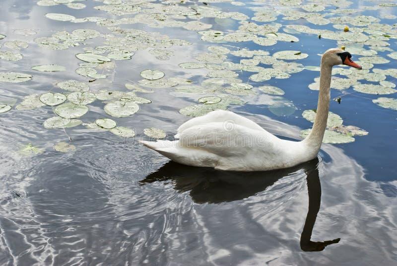 Beau cygne sur le lac images libres de droits