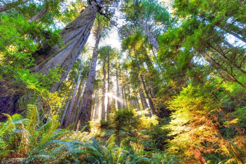 Beau début de la matinée dans la forêt de séquoia de peuplement vieux photographie stock libre de droits