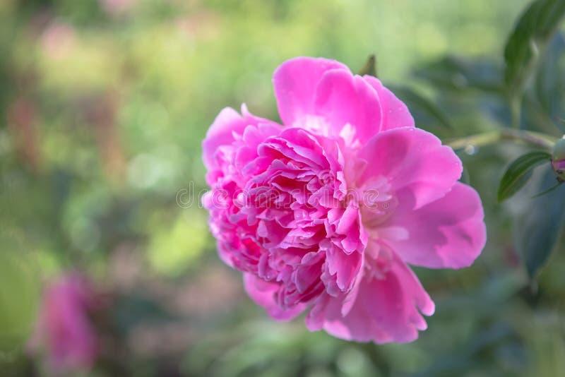 Beau décor de bouquet de pivoines roses Cartes de fleurs aux frontières en fleurs pastel ou roses Un mariage en toile de fond, Va image libre de droits