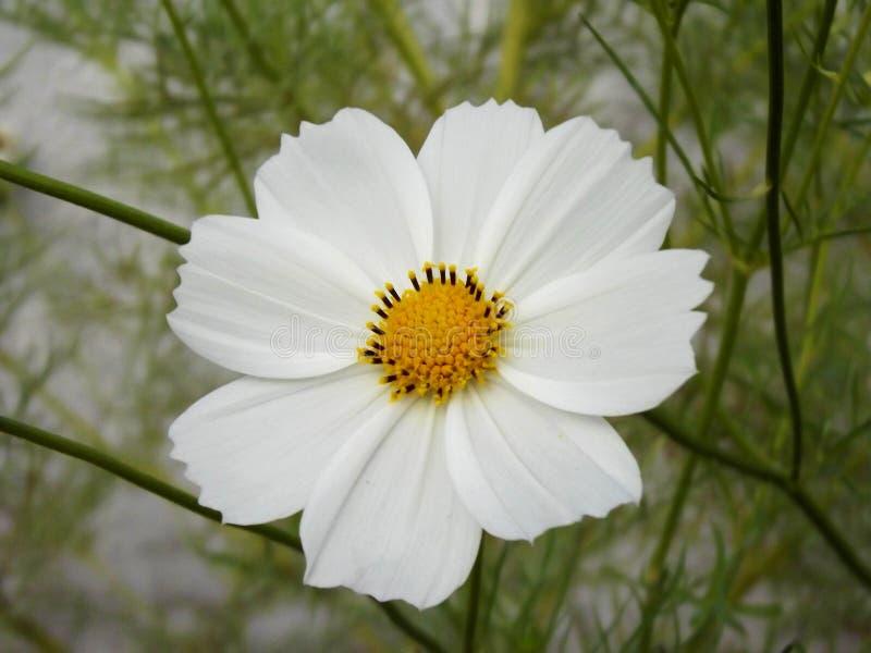Beau détail blanc naturel de fleur de cosmos images libres de droits
