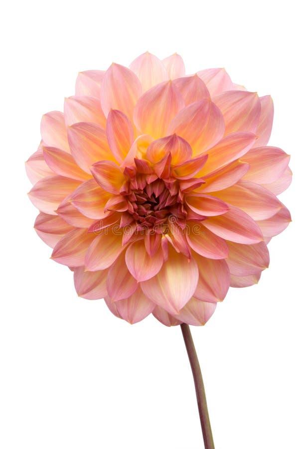 Beau dahlia rose photos stock
