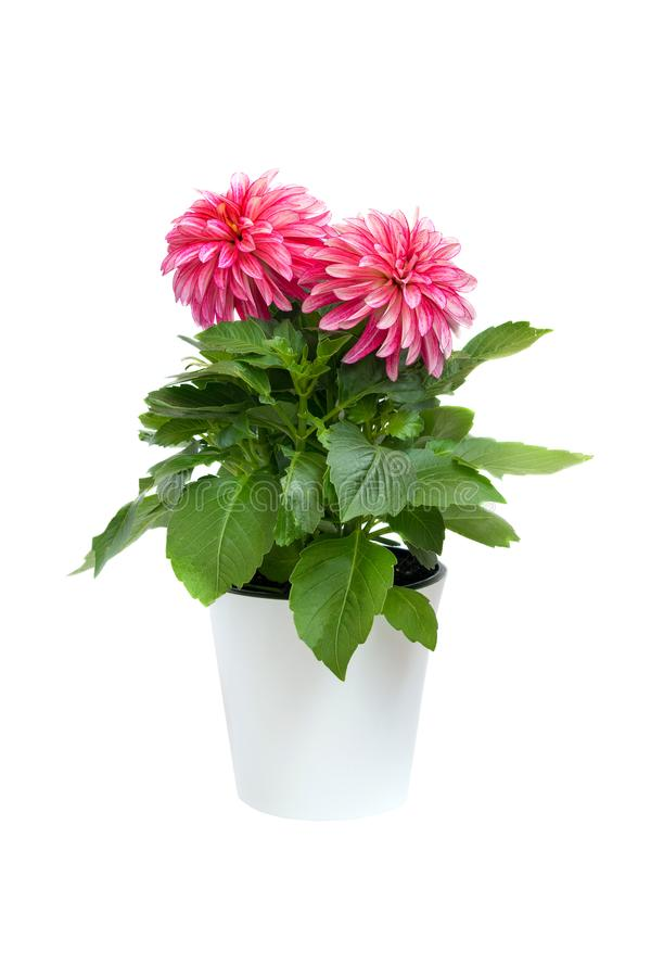 Beau dahlia rose dans le pot d'isolement sur un fond blanc photos stock