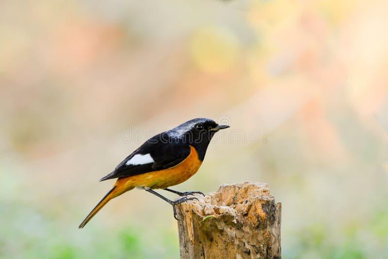 Beau de l'oiseau de Daurian Redstart photo stock