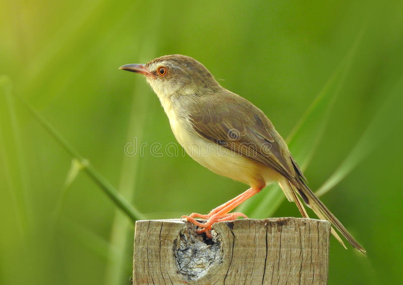 Beau de l'oiseau de Rubythroat de Sibérien se tenant sur le tronçon photographie stock libre de droits