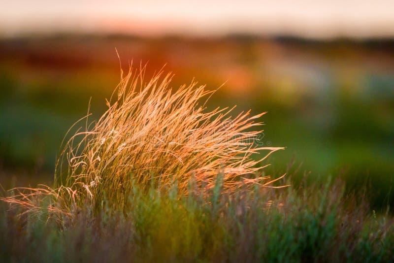 Beau de la fin de Pennisetum de plume ou d'herbe de mission vers le haut du mode avec la lumière arrière du lever de soleil penda photos stock