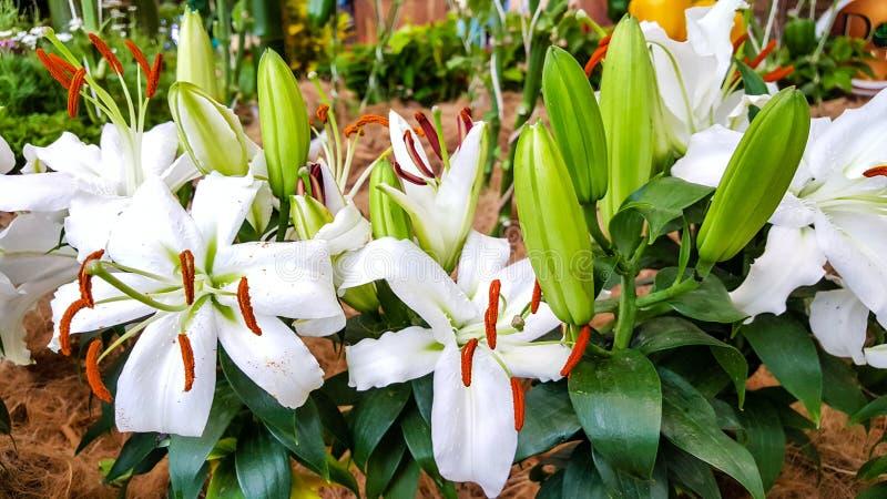 Beau des orchidées blanches fleurissent dans le jardin naturel dans la lumière du jour et l'air frais photo libre de droits