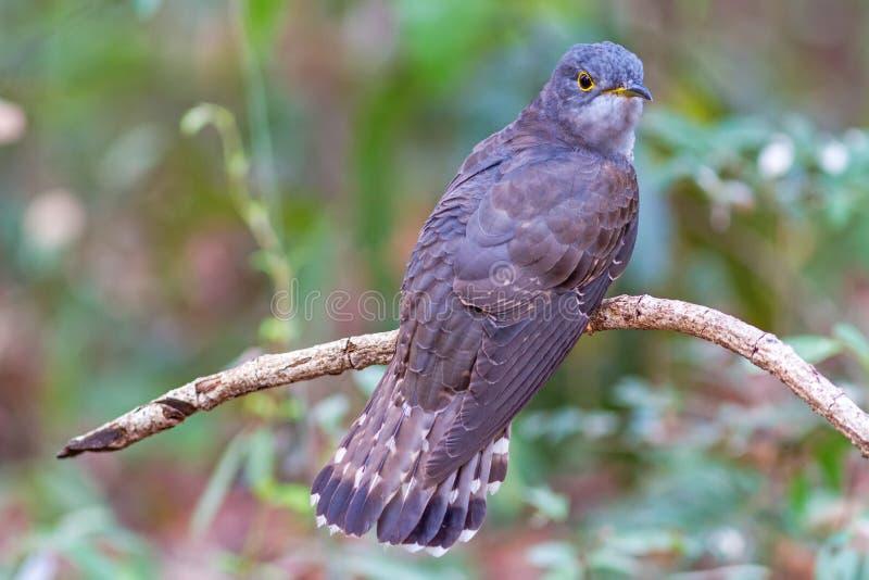 Beau du plus petit oiseau de coucou et de la position très rare sur la branche photos libres de droits