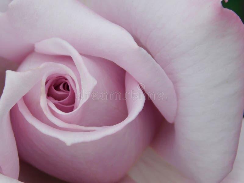 Beau en pastel-rose variétal s'est levé photo stock