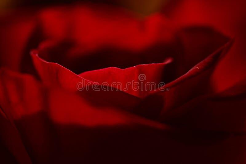Beau en tant que Rose images stock