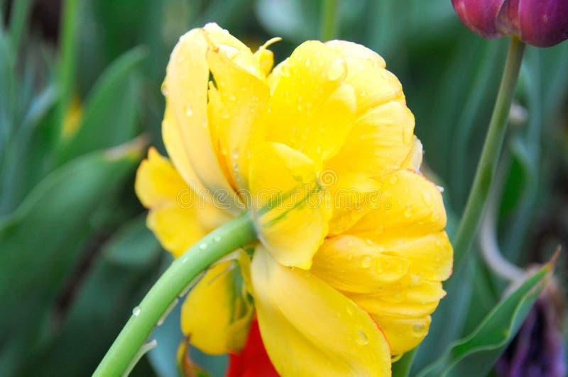 Beau et élégant chrysanthème photographie stock