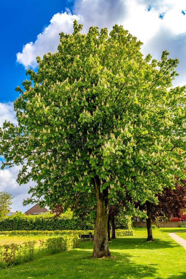 Beau et énorme arbre de châtaigne fleurissant en parc avec l'herbe verte photos libres de droits