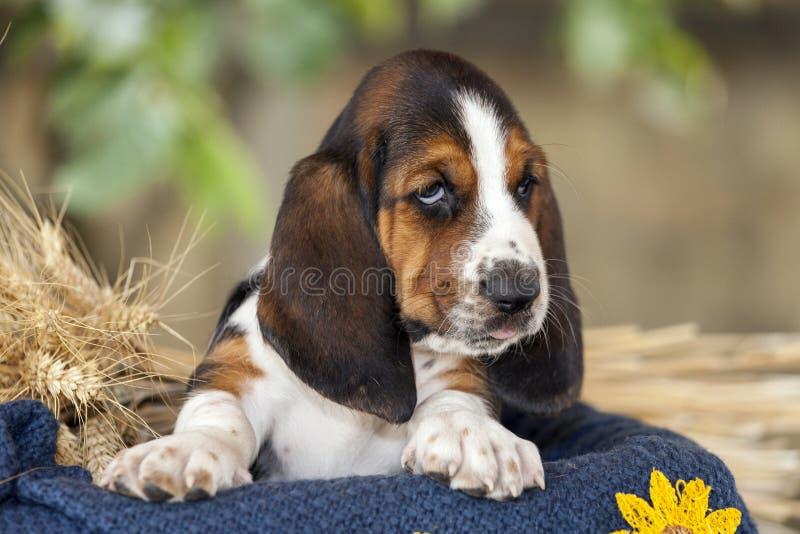 Beau et doux chiot de chien de basset avec les yeux tristes se reposant dedans images stock