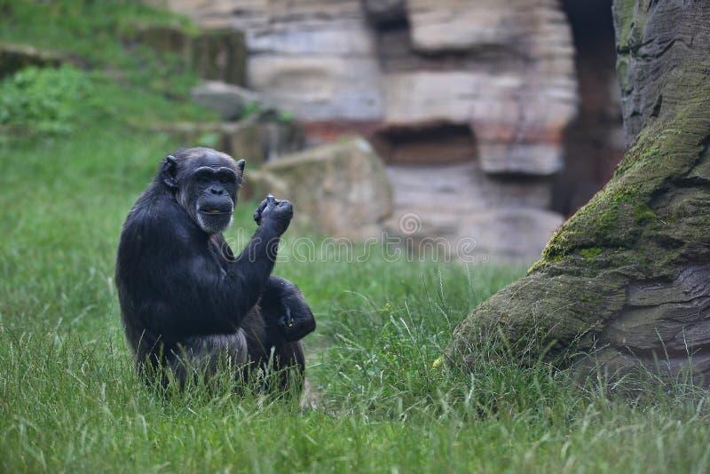 Beau et gentil chimpanzé dans l'habitat de nature photos libres de droits