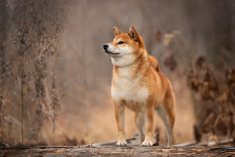 Beau et heureux shiba inu chien debout sur le pont en bois dans la forêt Adorable Red shiba inu chien femelle en automne images stock